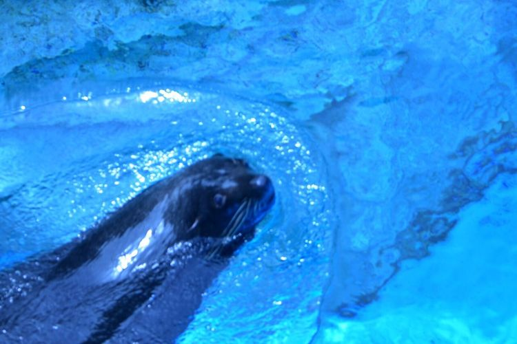 Fur Seal Snapshot Yokohama Zoo Japan Nature Photography Snapshots ズーラシア Aquarium