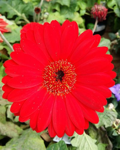 A Stunning Close-up of a Beautifully  Bright Red Flower . Featuring Petal Plant Nature Flower Head Fragility Growth Freshness Beauty In Nature Day No People Outdoors Blooming Green Leaves Focus On Foreground Blossom Growth Selective Focus Beauty In Nature Springtime