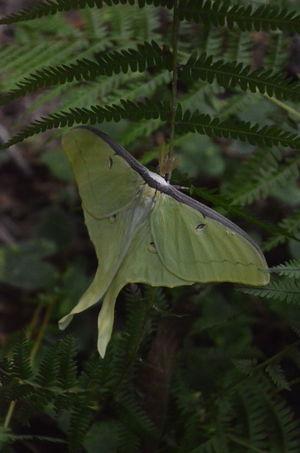 Luna Moth Animal Wildlife Animals In The Wild Beauty In Nature Close-up Day Focus On Foreground Fragility Green Color Growth Insect Insect Photography Insects  Leaf Leaves Moth Nature No People Outdoors Plant Plant Part Selective Focus Tranquility Tree Vulnerability