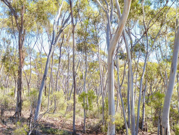 Australian Outback Australian Bushland Patterns In Nature SW Australia Tree Forms & Shapes Beauty In Nature Eucalyptus Bushland Eucalyptus Forest Forest Nature No People Scenics Tranquil Scene Tranquility Tree Tree Silhouettes
