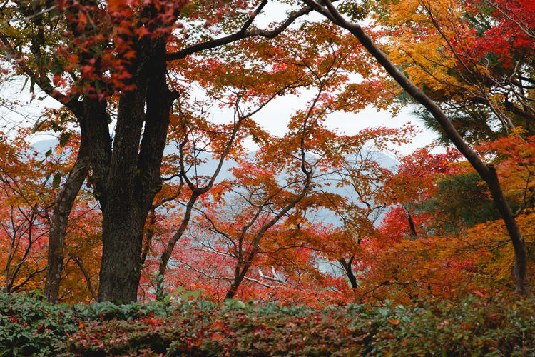 Tree Autumn Plant Change Beauty In Nature Growth Nature Branch Tranquility Orange Color Day Plant Part No People Scenics - Nature Leaf Outdoors Forest Land Tree Trunk Trunk Fall Autumn Collection Maple Leaf Natural Condition Tree Canopy
