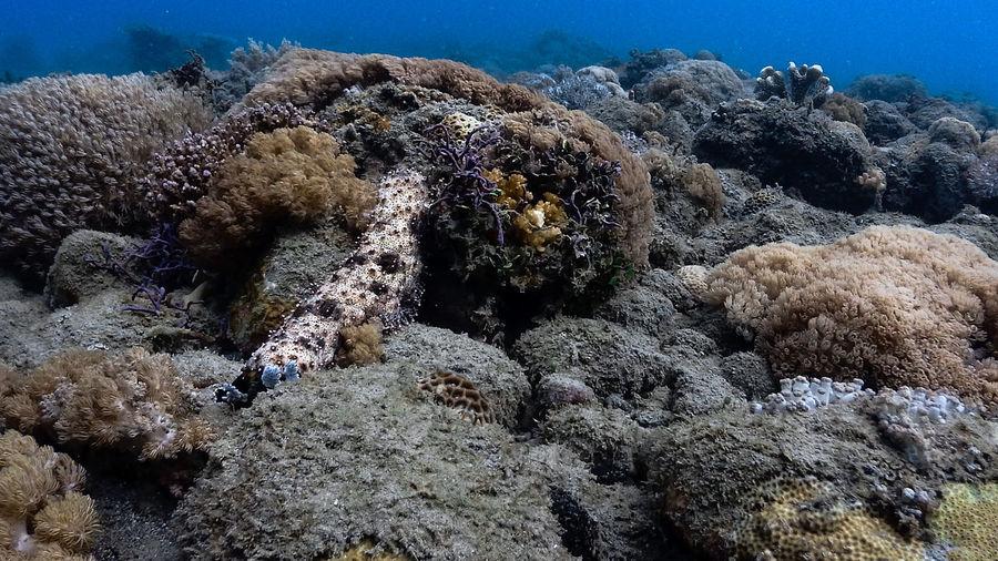 Sea cucumber at pagkilatan