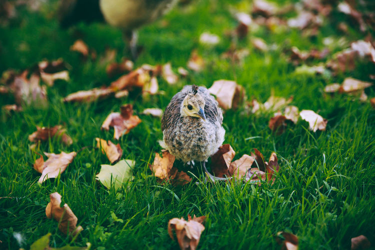 Autumn Beauty In Nature Chick Close-up Day Field Focus On Foreground Grass Grass Grassy Green Color Ground Growth Leafs Nature No People Outdoors Peacock Portrait Selective Focus Nature's Diversities Market Reviewers' Top Picks Pet Portraits