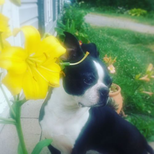 Home Is Where The Art IsBright Yellow Petals Yellow Lillies Boston Terrier Black And White Posing Dog Love It Colour Of Life