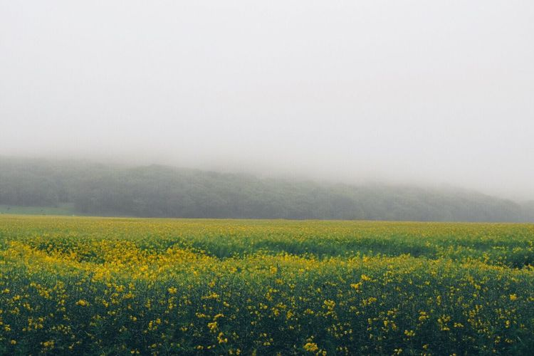 Oilseed rapes on field during foggy weather