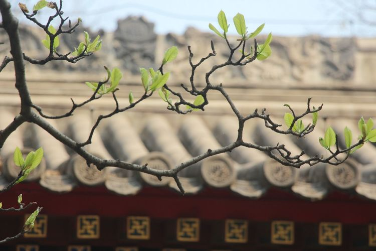 Architecture Beauty Of China Beginnings BEIJING北京CHINA中国BEAUTY Branch Branches And Leaves Building Exterior Built Structure Focus On Foreground Green Color No People Oriental Roof Rooftop Spring Springtime Style Of China Temple - Building