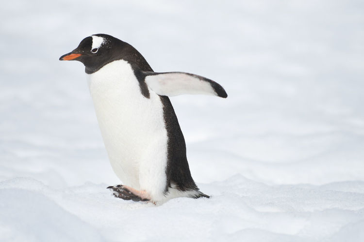 penguins in the snow Animal Themes Animals In The Wild Antarctica Antarctica Bound Nature No People Outdoors Penguins Penguins In Antarctica, Penguins In The Snow Snow