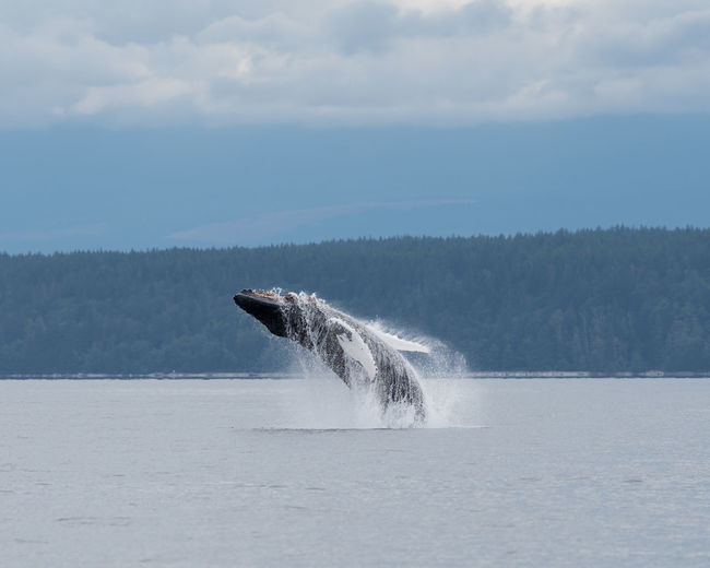 Humpback whale in sea
