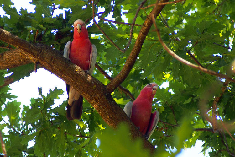 pink parrots in tree, Australia Animal Themes Animal Wildlife Animals In The Wild Australia Beauty In Nature Bird Bird In Tree Branch Day Low Angle View Macaw Nature No People Outdoors Parrot Perching Pink Pink Birds Tree