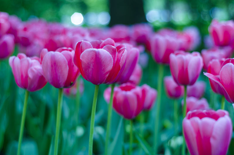Flower Plant Flowering Plant Beauty In Nature Pink Color Freshness Vulnerability  Fragility Close-up Growth Tulip Petal Nature No People Day Focus On Foreground Flower Head Selective Focus Inflorescence Land Springtime Outdoors Flowerbed Purple Spring