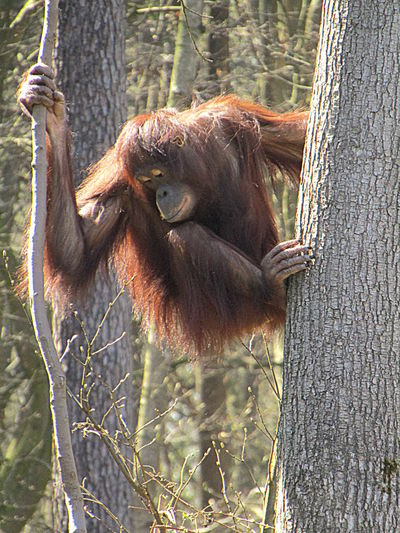 2017-rostock--today- Die Affen Haben Spass One Animal Orangutan Outdoors The Monkeys Have Fun-- Tree