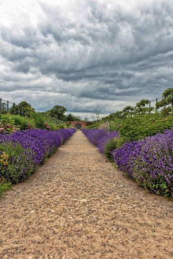 Purple flowering plants against cloudy sky