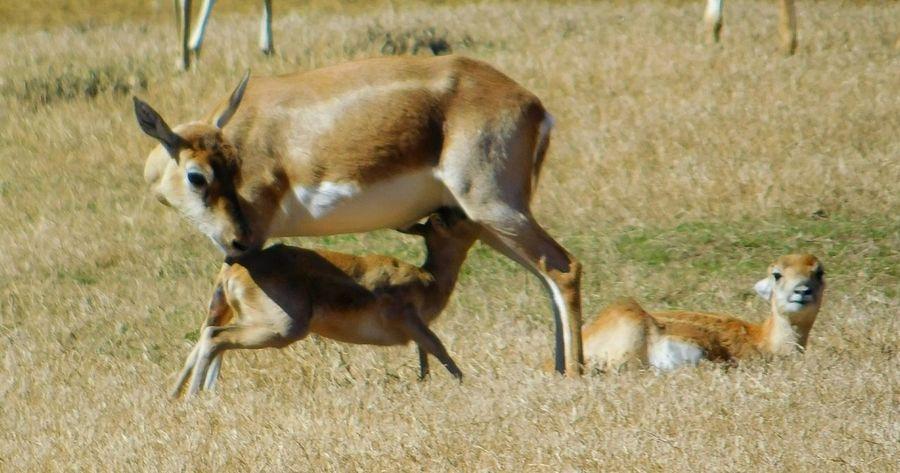 Deer nursing calf at exotic animal veterinarian. Exotic Animals Deer Mother Nature Instinct Caring Motherlylove