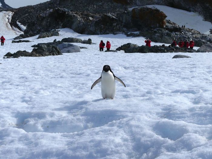 Chinstrap penguin in the wild