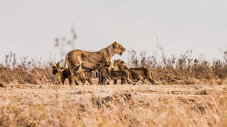 Lioness feeding cubs against clear sky