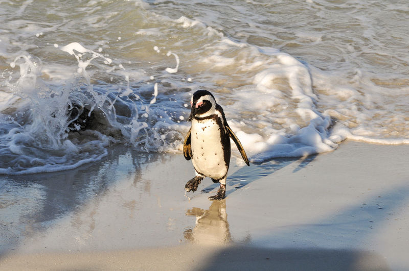 Close-Up Of Humboldt Penguin Walking On Shore