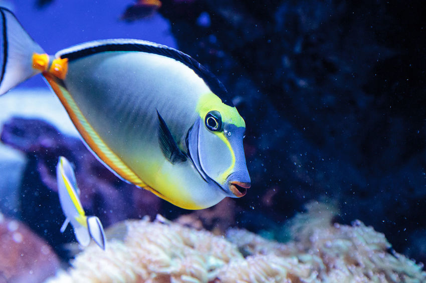 Naso tang fish known as Naso lituratus on a coral reef. Animal Themes Aquarium Close-up Coral Reef Day Naso Lituratus Naso Tang No People Ocean One Animal Reef Sea Sea Life Swim Swimming UnderSea Underwater Water