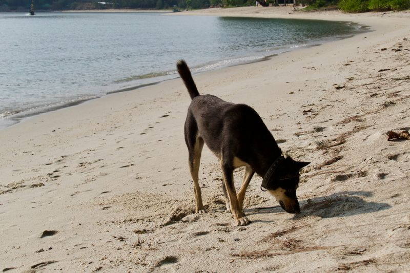 Dog at the beach One Animal Animal Themes Animal Mammal Domestic Animals Dog Vertebrate Pets Domestic Land Water Beach Sand No People Nature Day Sea Standing Koh Samui,Thailand Dogs Of EyeEm