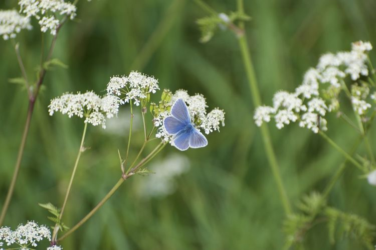 Schmetterling Beauty In Nature Blauer Schmetterling Blue Butterfly Butterfly Close-up Day Flower Flower Head Flowering Plant Focus On Foreground Fragility Freshness Green Color Growth Nature No People Outdoors Papillon Petal Plant Plant Stem Vulnerability  White Color