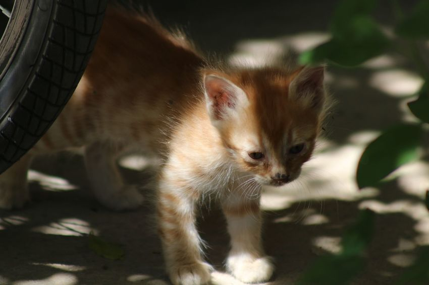 Cyprus Limassol Cat Lovers Cats Of EyeEm Cat♡ Cats Cat Kiddy Mammal Animal Animal Themes Vertebrate One Animal Pets Domestic Domestic Animals Feline Cat Domestic Cat No People Sunlight Focus On Foreground Nature Close-up Day Whisker Kitten Looking