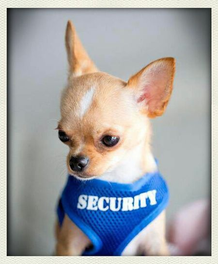 Chihuahua Security On Patrol <3