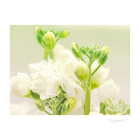 ストック🌸 White Flower Beauty In Nature Olympus OM-D E-M5 Olympus Photography Playground Japan Photography Olympus倶楽部 Japan 日本 東京 Memories Nature City Life Day Wedding White Color Flower