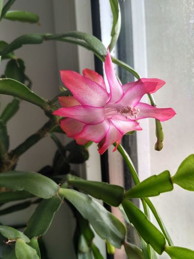 Schlumbergera Buckleyi pink blossom closeup, flowering christmas cactus, epiphyte houseplant next to the window in vertical orientation, nobody. Schlumbergera Buckleyi Schlumbergera Christmas Cactus Flower Flowering Flowering Plant Succulent Plant Epiphyte Bloom Blooming Blossom Blossoming  Plant Beauty In Nature Pink Color Plant Part Inflorescence No People Plant Stem Plant Part Pistil Petal Close-up Closeup Detail