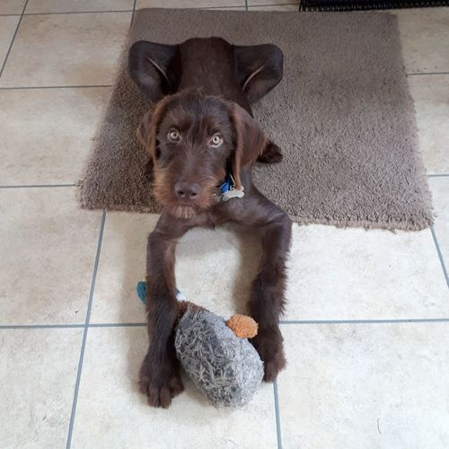 Puppy long legs! Germanwirehairedpointer Vizsla GWP Hwv Pointer Dog Pointercross Vizslacross Wirehaired Wirehaired Hungarian Vizsla Beard EyeEm Selects Pets Dog Portrait Sitting Cute Animal Themes Puppy