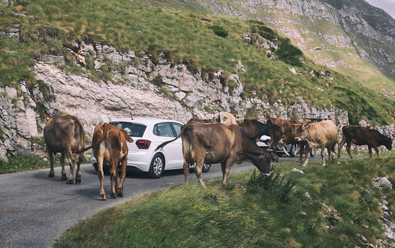 Cows standing on field by road