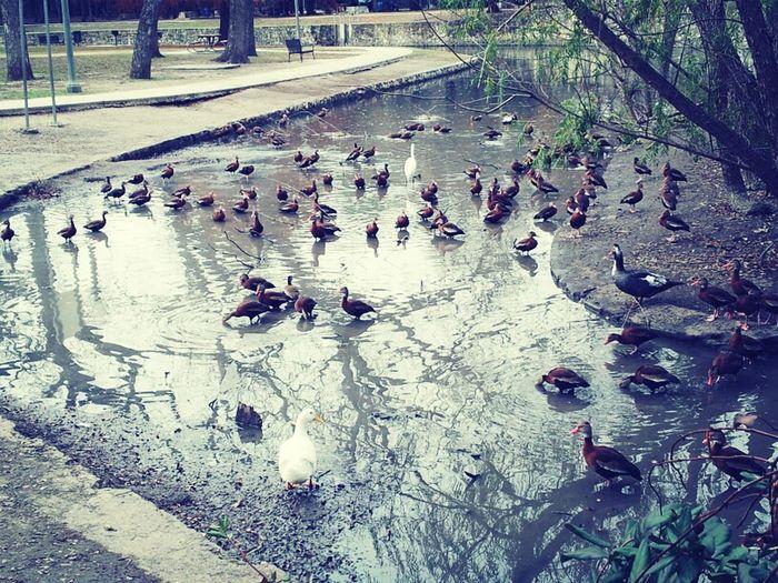 So.. Many.. Ducks..