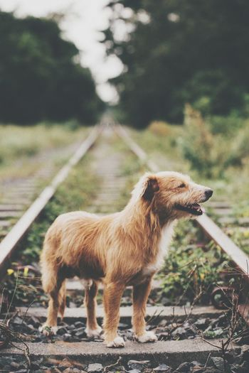 Dog standing on railroad track