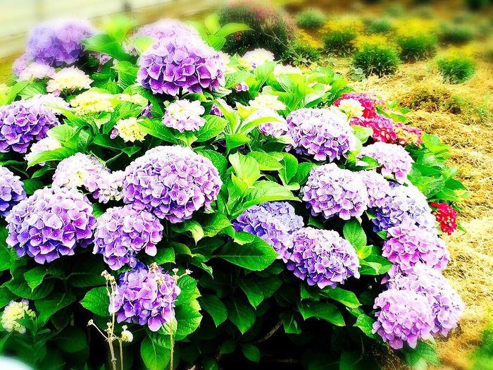 畑のあじさい 紫陽花 畑