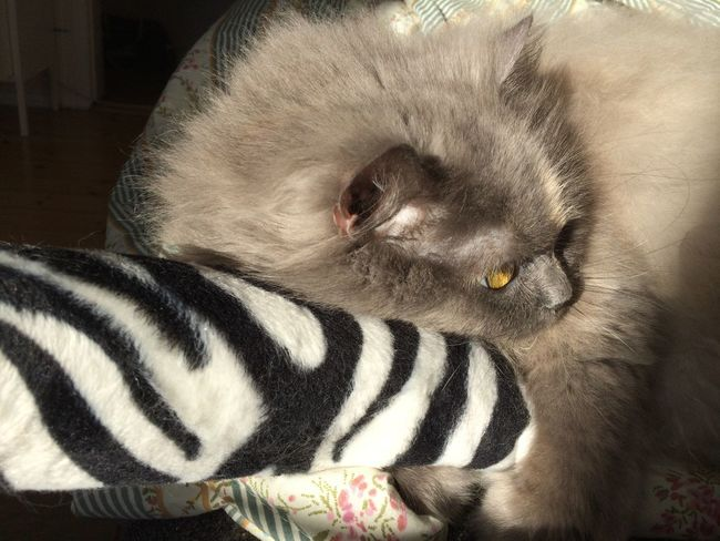 Beauty Cat Persian Mix Longhaired Cats Sweetness Softness Playful Eyem Gallery