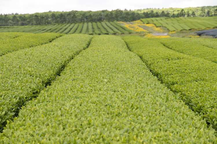 Tea crop field