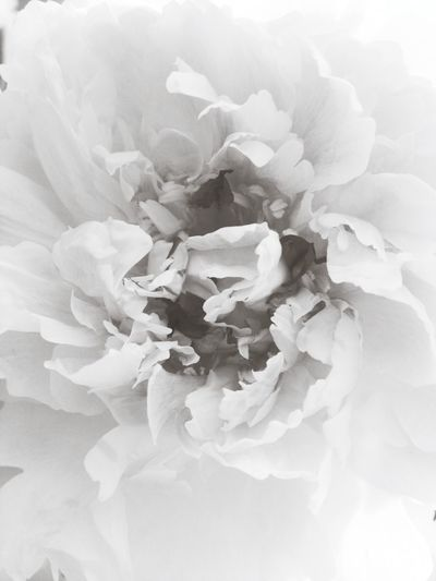 Black And White Paeonia Pivoine Macroclique