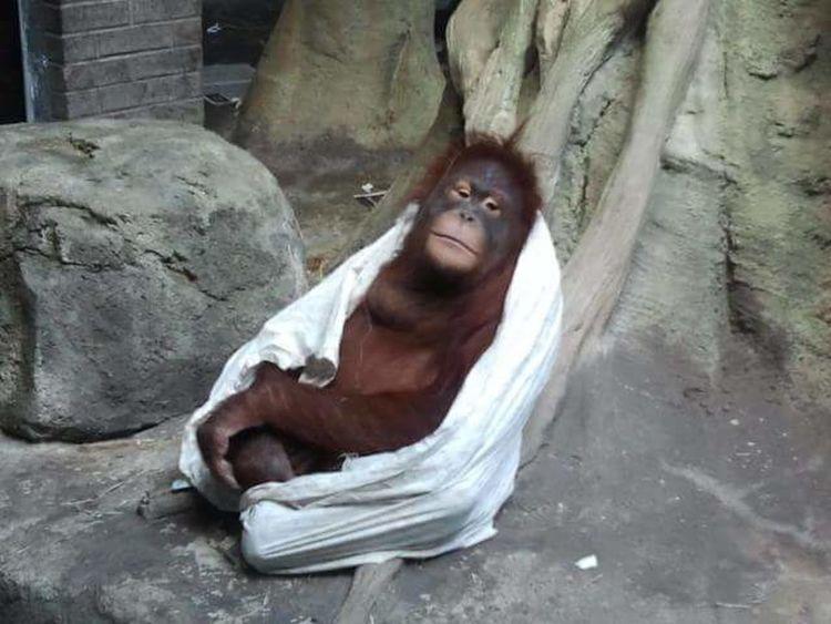 Zoo Erie Erie Pennsylvania Erie, PA Erie Zoo, Erie, Pa Orangutan Baby Orangutan Blanket