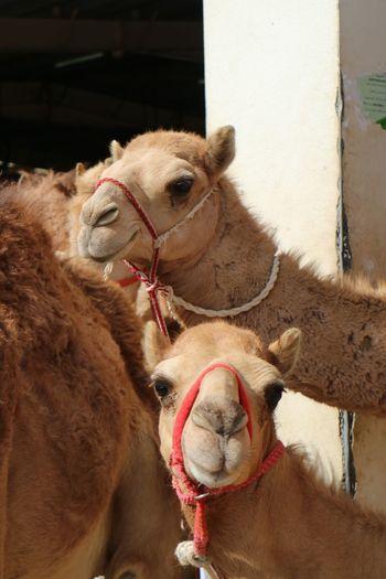 Oman Mammal
