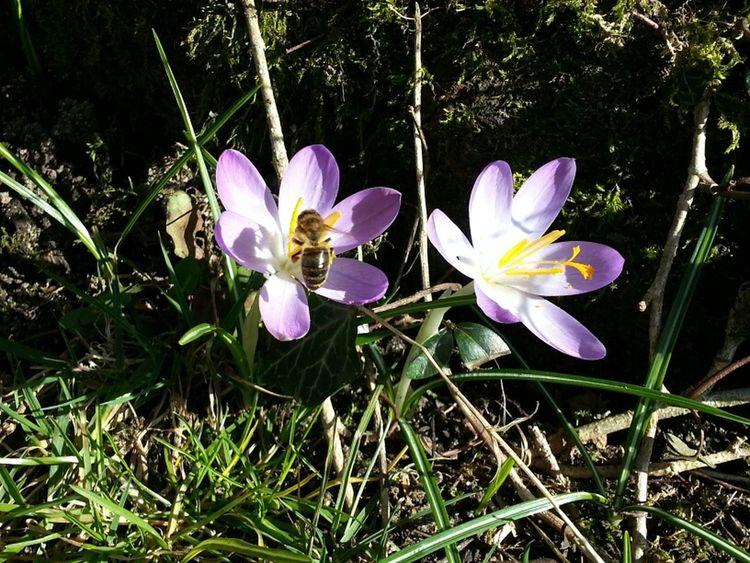 Erste Frühlingsboten Natur Frühling Blumen Frühjahr Bienen