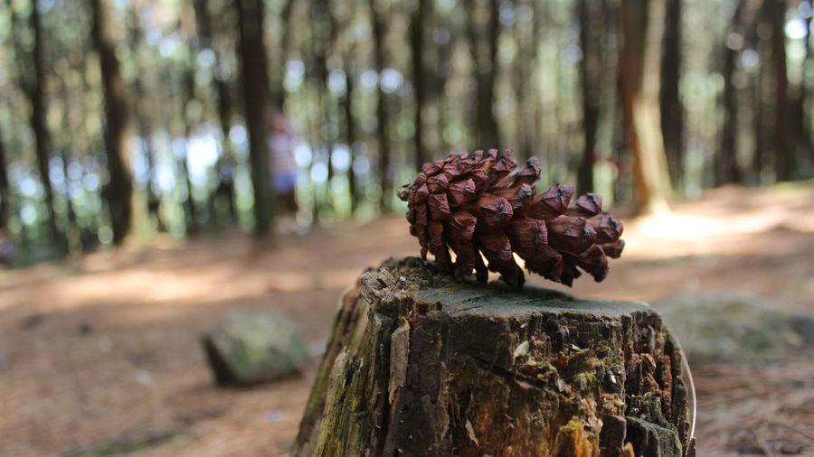 Close-up of pine cone on tree trunk