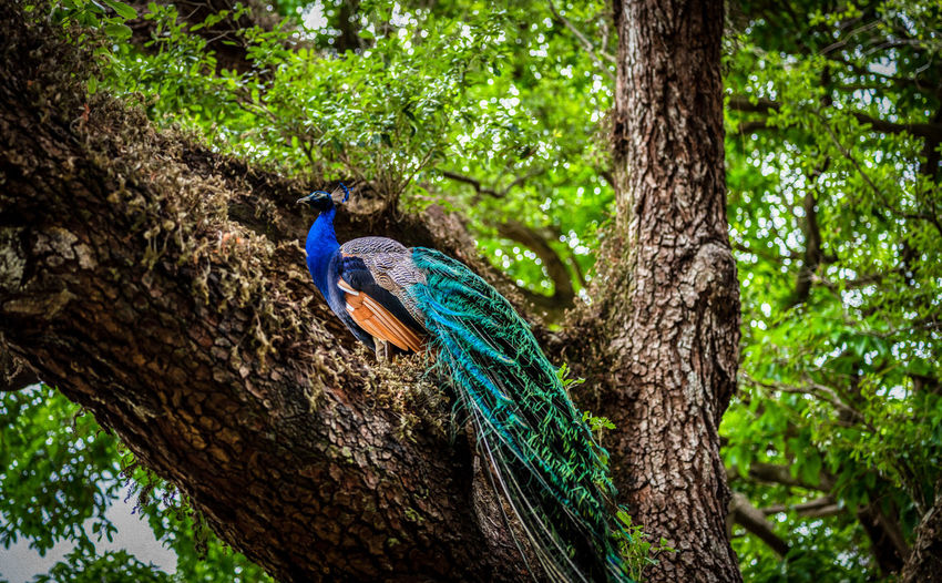 Peacock perching on tree trunk in forest