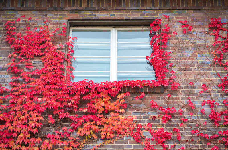 Red ivy on house with white window Window Plant Red Architecture Built Structure Flowering Plant Flower Building Exterior No People Day Change Autumn Growth Nature Leaf Ivy Plant Part Building House Glass - Material Outdoors Brick