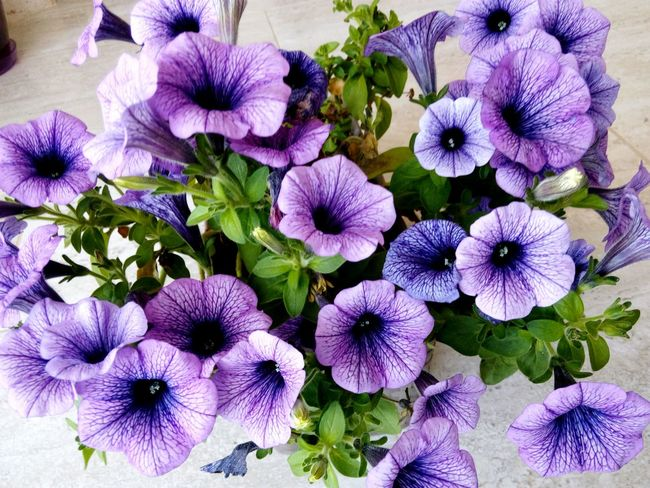 Flowerlovers Flowers, Nature And Beauty Natural Beauty Purple Flower Blumen Blumenpracht🌺🍃 Blumentopf Macro_flower Flowermagic Flower Pot Check This Out The Essence Of Summer Background