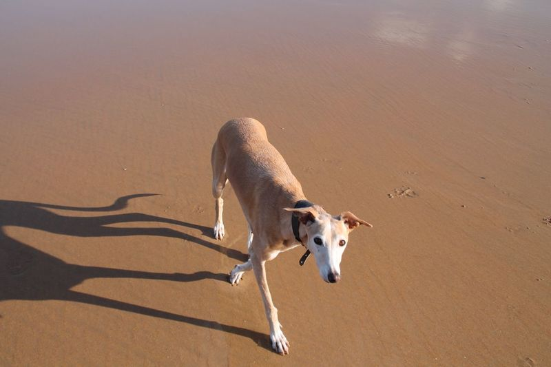 View of dog on sand