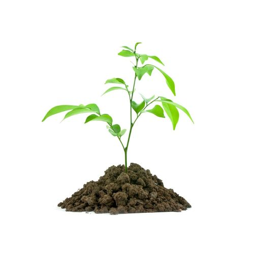 Plant Leaf Plant Cannabis Plant Growth Green Color Cut Out Marijuana - Herbal Cannabis White Background Nature Tree Cultivated Bonsai Tree Planting Studio Shot Herbal Medicine Herb No People Close-up Tea Crop Day soil concept