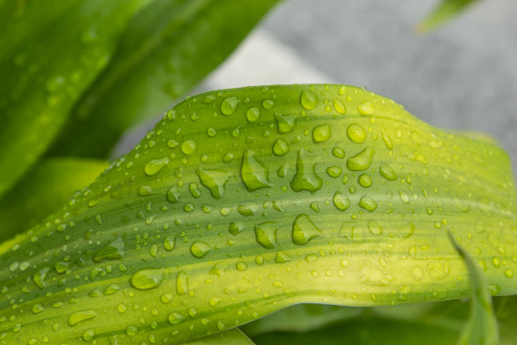 Water droplets on a green leaf use as a background. Beauty In Nature Close-up Day Dew Drop Focus On Foreground Fragility Freshness Green Color Growth Leaf Leaves Nature No People Outdoors Plant Plant Part Purity Rain RainDrop Rainy Season Vulnerability  Water Wet