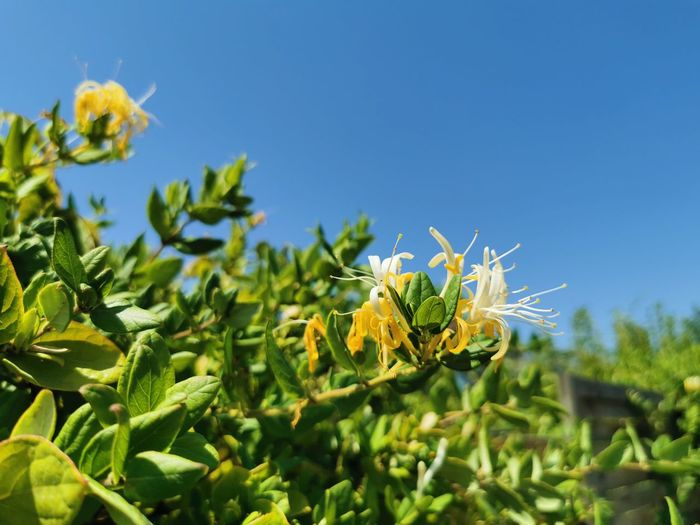 Close-up of yellow flowering plant against blue sky
