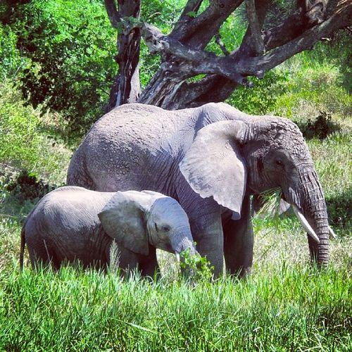 Tanagire Tanzania Africa Safari Elephants