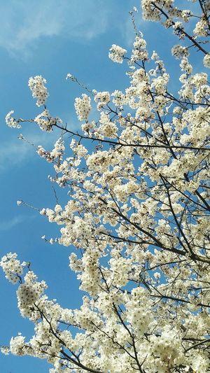 Flower Spring Cherry Blossoms 벚꽃 Tree First Eyeem Photo EyeEmNewHere