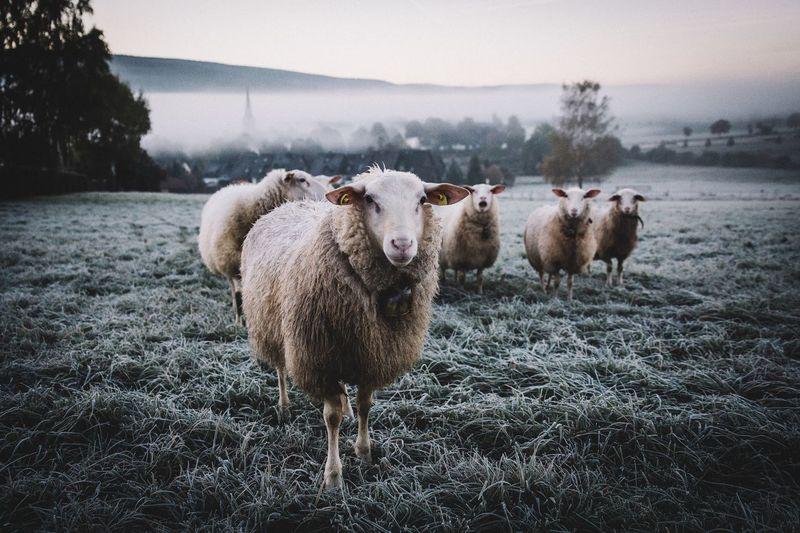 Meeeh. - Sheep Rural Morning Nature EyeEm Best Shots Landscape Vscocam Fog Autumn Sunrise Market Bestsellers June 2016 Bestsellers