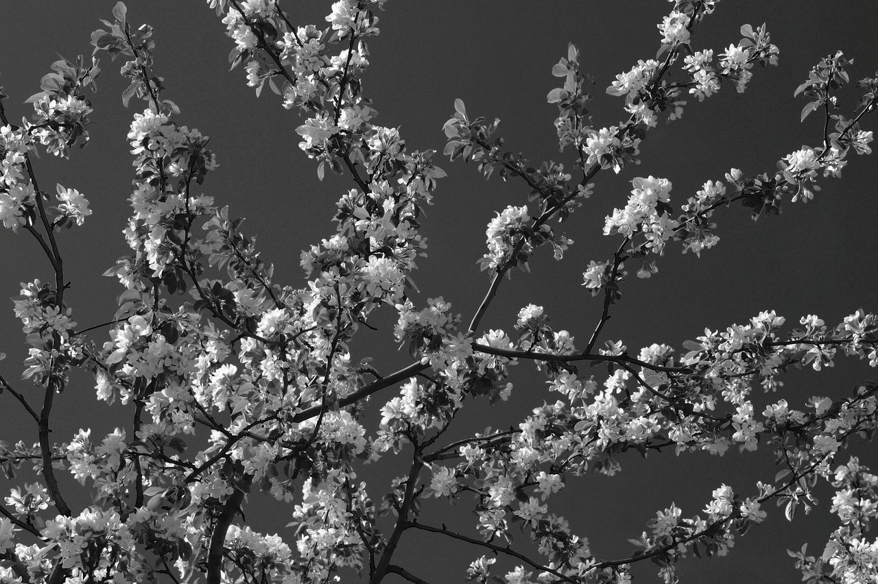 growth, flower, nature, tree, beauty in nature, low angle view, branch, blossom, fragility, no people, freshness, day, outdoors, springtime, sky, blooming, clear sky, flower head, close-up